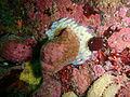 Whelk with eggs at Castle Rocks P7260838.JPG