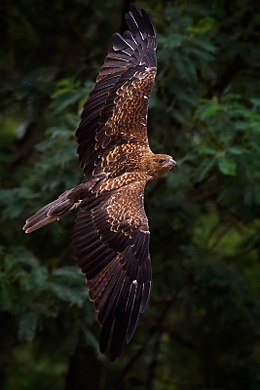 Whistling kite in flight.jpg