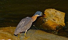 White-backed Night Heron (Gorsachius leuconotus) (6002390690).jpg