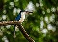 White-collared Kingfisher.jpg