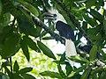 White-crowned Hornbill (14839739067).jpg