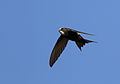 White-rumped swift, Apus caffer, at Suikerbosrand Nature Reserve, Gauteng, South Africa (23326853066).jpg