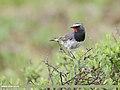 White-tailed Rubythroat (Luscinia pectoralis) (48959306881).jpg