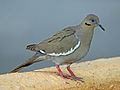 White-winged Dove RWD4.jpg