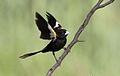White-winged widowbird, Euplectes albonotatus, male, at Dinokeng Game Reserve, Gauteng-Limpopo, South Africa (16195423610).jpg
