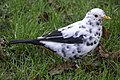 White Blackbird DSC01485.jpg