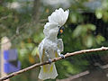 White Cockatoo also Umbrella Cockatoo RWD.jpg