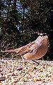 White Crowned Sparrow (5699874328).jpg