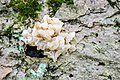 White Jelly Fungus (Sebacina pululahuana) (28419028362).jpg