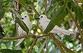 White Tern - Gygis alba 2.jpg