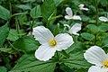 White Trillium Flowers Close-up PLT-FL-TR-7.jpg