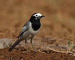 White wagtail - Male (Non-breeding- personata race) at Hodal- I IMG 9164.jpg