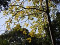 Wild Almond (4281688308).jpg