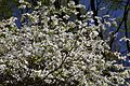 Wild Dogwood (11724810364).jpg