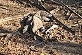 Wild Komodo dragon - Komodo island (17094019956).jpg