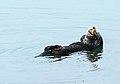 Wild Sea Otter (17348235490).jpg