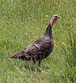 Wild Turkey (31163445224).jpg