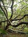 Wild almond trunk1.jpg
