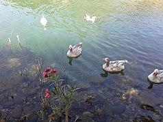 Wild ducks in Dalyan.jpg