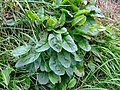 Wild sorrel (Rumex acetosa) - geograph.org.uk - 915938.jpg
