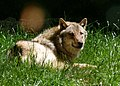 Wildfreigehege Wildenburg im Nationalpark Hunsrück-Hochwald - Wolf.jpg
