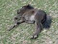 Wildpark Klosterwald Pony 02.JPG