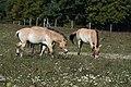 Wildpferde Equus przewalskii 01.JPG