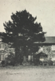 Willowdale 1902 Tree.png