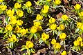 Winter Aconite Flower 9177-1.jpg
