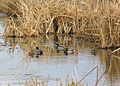 Winter mallards nowalk odfw (8510764930).jpg