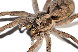 At f/11, the DOF in this image of a Wolf spider is very limited.
