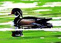 Wood Duck 2 (10998250783).jpg