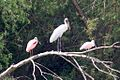 Wood Stork (immature) & Roseate Spoonbills (adult & immature)-Sabal Palm Bird Sanctuary-TX - 2015-05-21at10-07-346 (21421277418).jpg