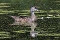 Wood duck hen, mill pond (35953689361).jpg