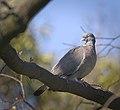 Wood pigeon (33830473815).jpg
