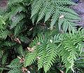 Woodwardiafimbriata.jpg
