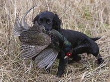 Black Cocker Spaniel Dog Lifespan