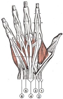 Extensor tendon compartments of the wrist