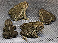 Wyoming Toads (19040561346).jpg