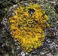 Xanthoria ulophyllodes (Räsänen) 946843.jpg