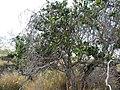Xylosma hawaiiense (5436864033).jpg