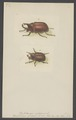 Xylotrupes - Print - Iconographia Zoologica - Special Collections University of Amsterdam - UBAINV0274 001 06 0036.tif