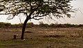 Yaque tree.jpg