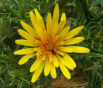 Scolymus - flowerhead of S. hispanicus with mites and beetles