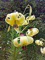 Yellow lilies Martagon (Turkish Yellow Lily) - panoramio.jpg