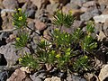 Yellow pincushion plant, Navarretia breweri (49098344543).jpg