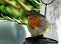 Young Robin posing for me-) (6011793845).jpg
