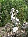 Young pelican (4907399159).jpg