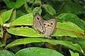Ypthima baldus - Common Five-ring mating pair 2014 (6).jpg