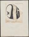 Zanclus cornutus - 1700-1880 - Print - Iconographia Zoologica - Special Collections University of Amsterdam - UBA01 IZ13500501.tif
